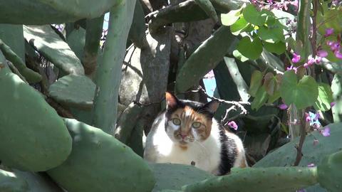 Cat sitting in cactus opuntia bush Footage