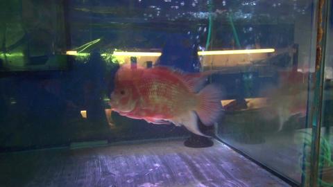 Pink fish in aquarium Footage
