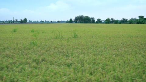 Rice field landscape in Thailand (Panning shot) Footage