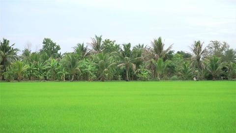 Rice field landscape in Thailand (Panning shot) ビデオ