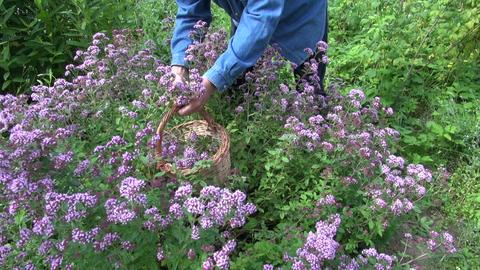 Herbalist picking oregano Live Action