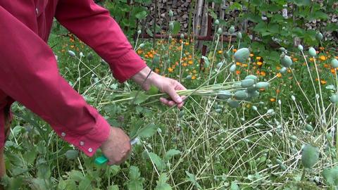 Man picking opium poppies in the garden Footage
