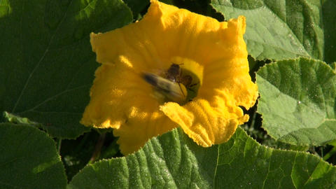 Bees picking nectar in pumpkins blossom ビデオ