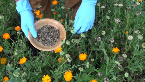 Farmer picking seeds of marigold in herb garden Footage