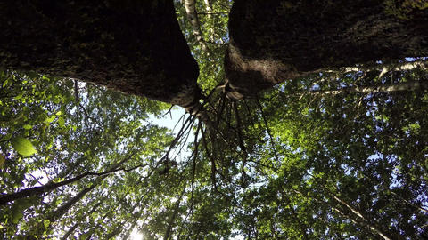 trees filmed from beneath with entwined branches in forest Footage