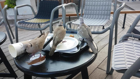 Birds Eating Crumbs At Starbucks Footage