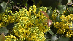 Yellow flowers mahonia Footage
