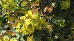 Yellow flowers mahonia Footage