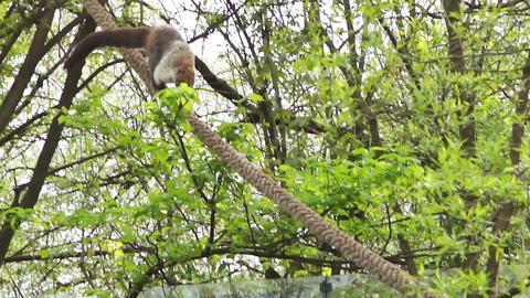 The coati, nasua nasua, descends the rope slowly Footage