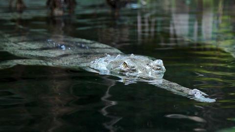 Crocodile gavial looks for prey Footage