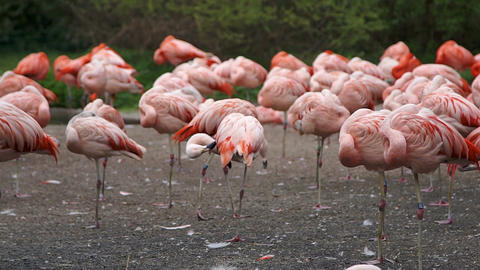 Group of pink flamingos sleep standing up Footage