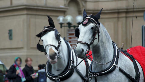 Two white horses in harness on the square Footage