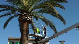 Spain Mallorca Island Alcudia 016 urban gardener is cutting palm leaves Footage