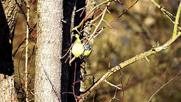 Bird; Eurasian blue tit eats Footage
