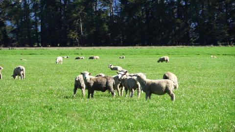 Sheep Footage