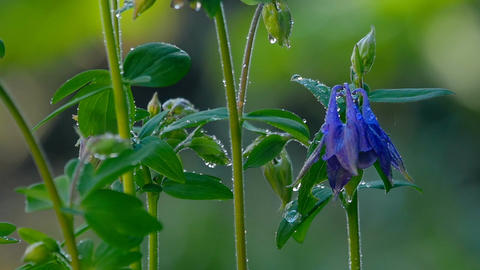 Blue Columbine flower after rain Footage
