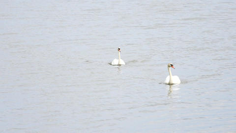 Swan swim on smooth water level with sun reflections and sparkles Footage