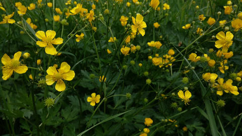 Meadow Buttercup in the wind Live Action