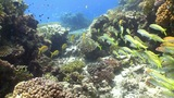 Shoal of Yellow Fish on Coral Reef, Red sea Footage