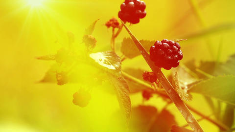 blackberries in the morning sun Stock Video Footage