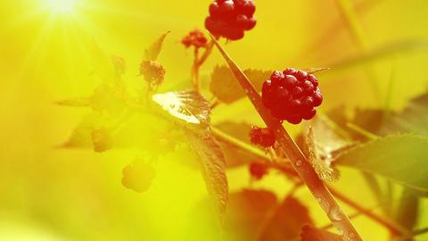 blackberries in the morning sun Stock Video Footage