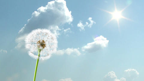 Dandelion, 3d animation against sky background Stock Video Footage