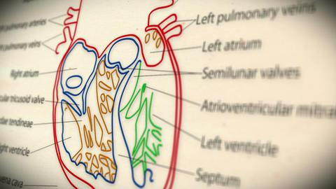 Human Heart v 2 4 Animation