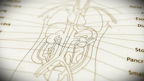 Human Organs v 2 2 Animation