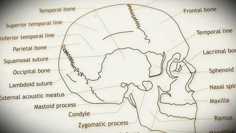 Human Skull v 2 6 Animation