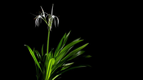 Time-lapse Opening white amaryllis (Amaryllis.... Stock Video Footage