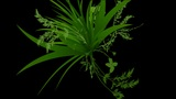 flower & plant growing silhouette Animation