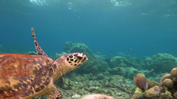 Great Diving With Turtles Hawksbill Turtle Near The Maldives Archipelago stock footage
