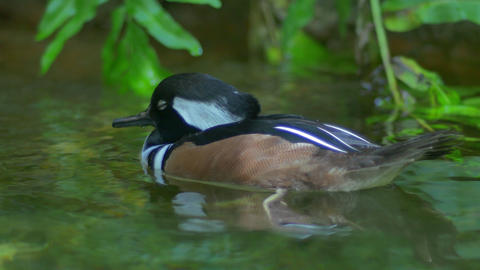 Hooded Merganser Duck dozes off while swimming, 4K Footage