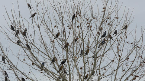 Flock Of Blackbirds Perched In Leafless Tree, 4K stock footage