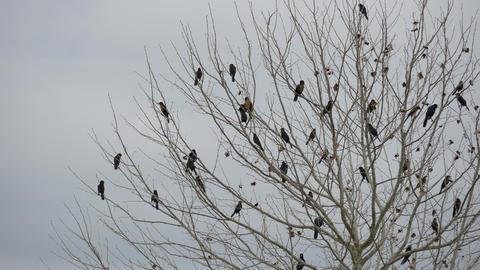 Flock of blackbirds perched in leafless tree, 4K Footage