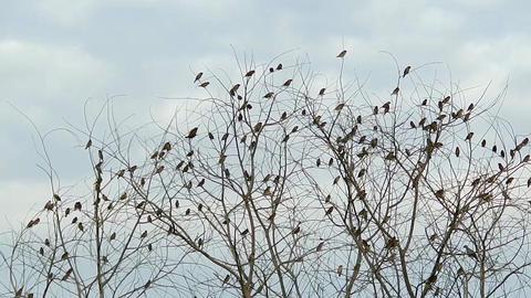 Munia birds in tree Live Action