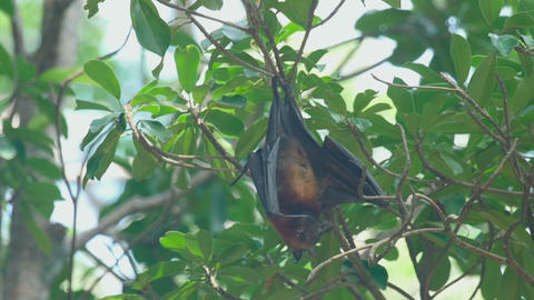 Flying fox hangs on a tree branch and washes Footage