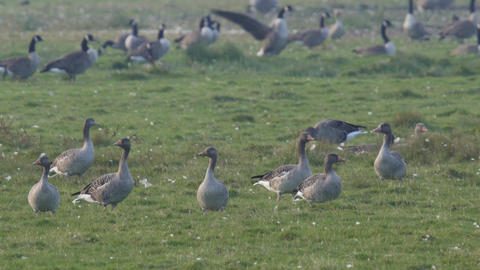 A flock of wild geese resting on a meadow 4k Footage