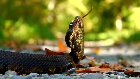 Cottonmouth Snake Shawnee National Forest stock footage