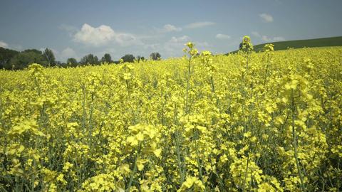 Industrial Farming Rapeseed Field Pan Footage