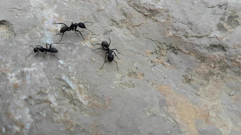 Large Black Ants Walking On A Rock Footage