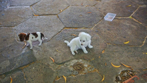 Two Little Puppies Play Together on Pavement Footage
