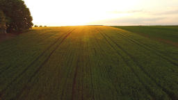 Aerial: camera tilt up and opens green wheat field covered in golden sunset ligh Footage