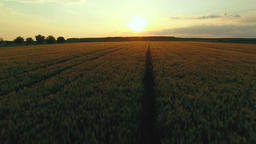 Aerial: low fast flight over the wheat field at golden sunset Footage