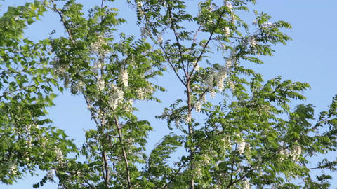 Flowering acacia swings in a gusty wind Footage