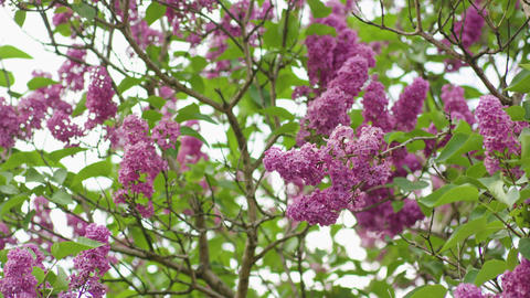 Purple Lilac Trees Footage