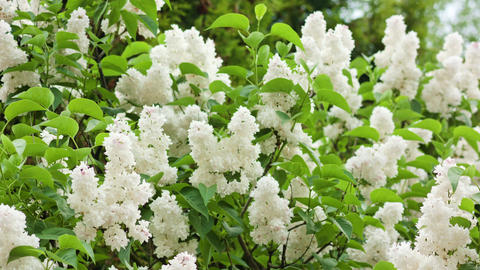 White Lilac Trees Footage