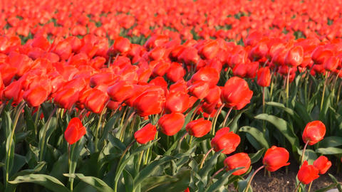 Tulip flowers in a field of red Tulips shaking in the wind on a spring day Image