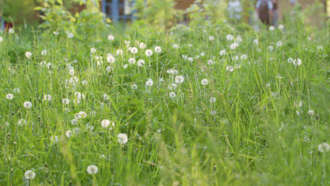 Green Grass with White Dandelions Footage