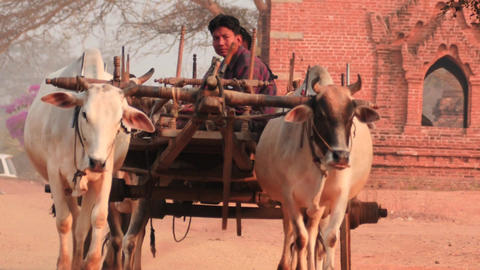 Burmese men in ox vehicle smooth zoom distancing Footage
